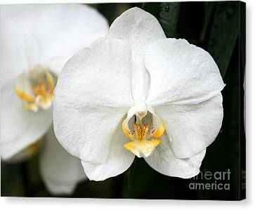 Beautiful White Phanaenopsis Orchids Canvas Print by Sabrina L Ryan