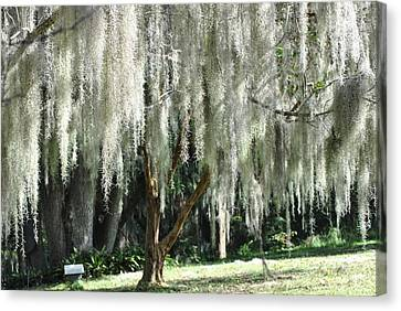 Canvas Print featuring the photograph Beautiful White Spanish Moss Hanging From Trees by Jodi Terracina