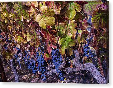 Beautiful Wine Grapes Canvas Print by Garry Gay