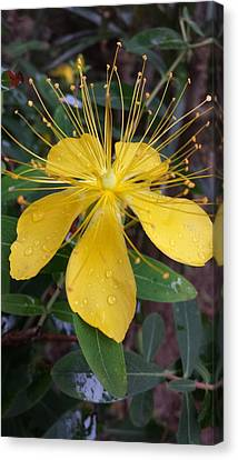 Canvas Print - Beautiful Yellow Flower by Cherie Sexsmith