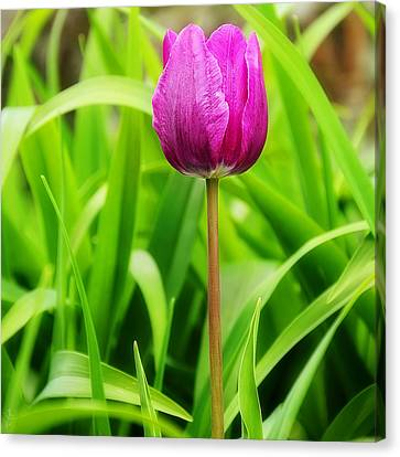 Beauty At A Glance- Purple Gems- Purple Tulips Rhode Island Tulips Purple Flower Canvas Print