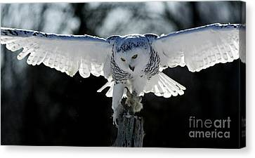 Shelley Myke Canvas Print - Beauty In Motion- Snowy Owl Landing by Inspired Nature Photography Fine Art Photography