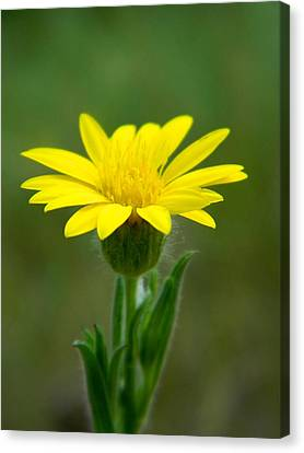 Beauty In Yellow Canvas Print by Ester  Rogers