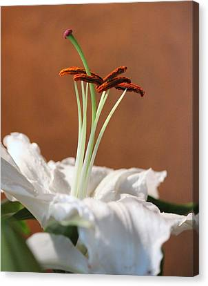 Beauty Of A Lily Canvas Print by Rosanne Jordan