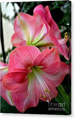 Beauty Of An Amaryllis Flower Canvas Print
