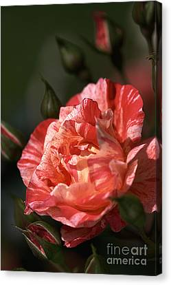 Canvas Print featuring the photograph Beauty Of Rose by Joy Watson