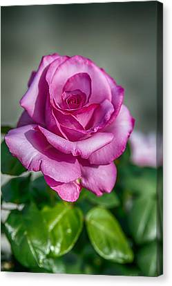Beauty Of The Pink Rose Canvas Print
