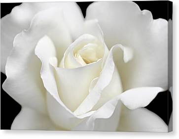 Beauty Of The White Rose Flower Canvas Print