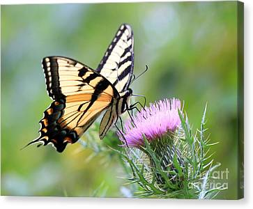 Beauty On Wings Canvas Print by Geoff Crego