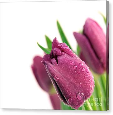 Beauty Purple Tulips Canvas Print by Boon Mee