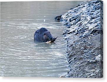 Beaver Chews On Stick Canvas Print by Chris Flees