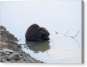 Beaver In The Shallows Canvas Print