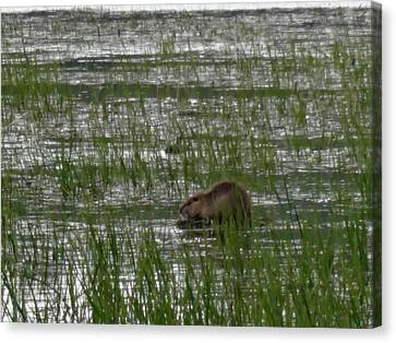 Beaver On Rest Lake Canvas Print