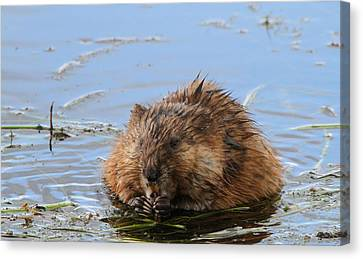 Beaver Portrait Canvas Print by Dan Sproul