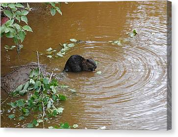 Beaver Youngster At Lunch Canvas Print by Sandra Updyke