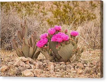 Beavertail Cactus Canvas Print