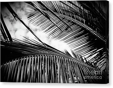 Maui Paradise Palms Hawaii Monochrome Canvas Print