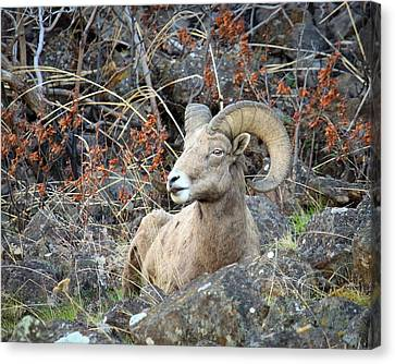 Canvas Print featuring the photograph Bedded Bighorn by Steve McKinzie