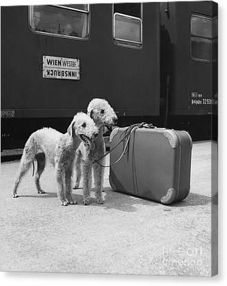 Bedlington Terriers, Austria Canvas Print