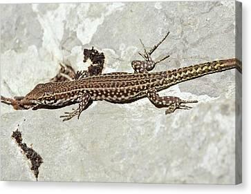 Bedriaga's Rock Lizard Basking Canvas Print