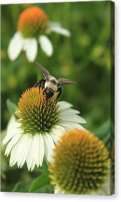 Bee 7 Canvas Print by Reid Callaway