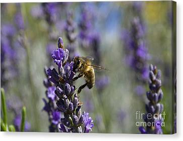 Bee And Lavender Canvas Print