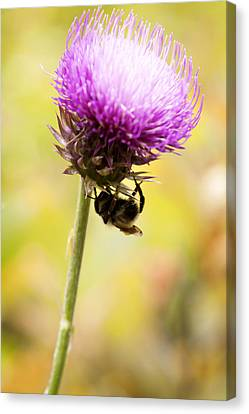 Bee And Thistle Canvas Print by Marilyn Hunt