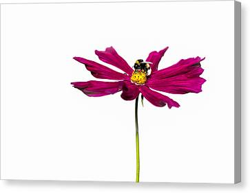 Bee At Work - Featured 3 Canvas Print by Alexander Senin