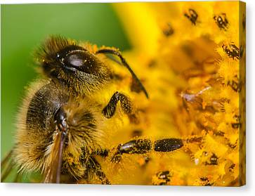 Bee At Work Canvas Print by Tin Lung Chao