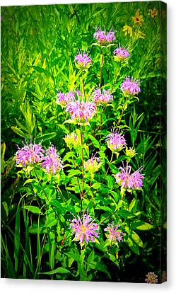 Bee Balm Of The Butterfly Gardens Of Wisconsin Canvas Print by Carol Toepke