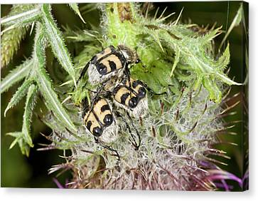 Bee Beetles On Thistle Canvas Print by Bob Gibbons