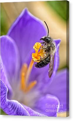 Bee Crocus Blossom Canvas Print