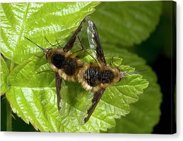Bee-flies Canvas Print