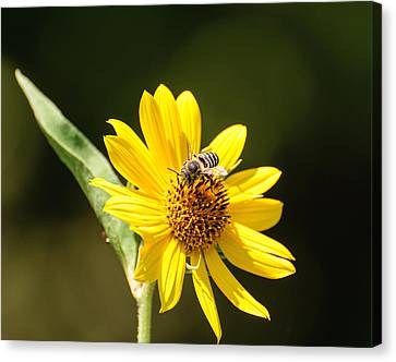 Bee Flower Canvas Print by John Johnson