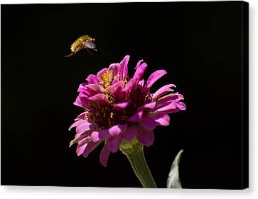 Bee Fly In Flight Canvas Print by Shelly Gunderson