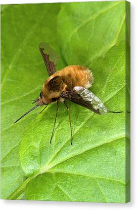 Bee-fly Canvas Print by Nigel Downer