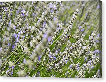 Bee Gathering Nectar From Lavender Flower Canvas Print by Sami Sarkis