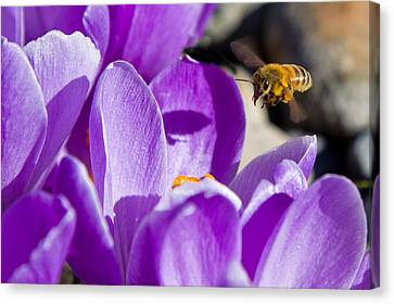 Bee In Flight Canvas Print by Bob Noble Photography