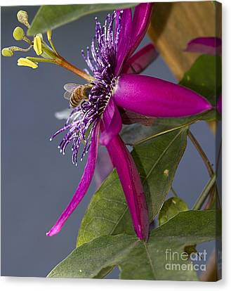 Bee In Passion Flower Canvas Print by Anne Rodkin