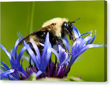 Bee On A Blue Flower Canvas Print