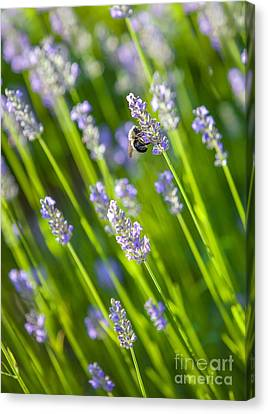 Bee On A Lavender Flower Canvas Print by Diane Diederich