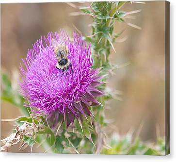 Bee On A Thistle Flower Canvas Print by Todd Soderstrom