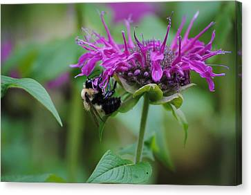 Bee On Bee Balm Canvas Print by Robert  Moss