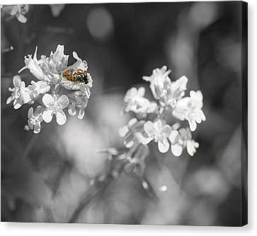 Bee On Black And White Flowers Canvas Print by Todd Soderstrom
