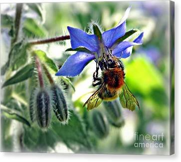 Canvas Print featuring the photograph Bee On Borage by Morag Bates