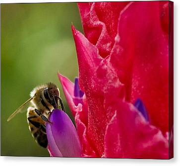 Bee On Red Bromeliad Flower Canvas Print by Ginger Wakem