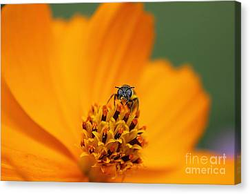 Canvas Print featuring the photograph Bee On Cosmo by Lisa L Silva