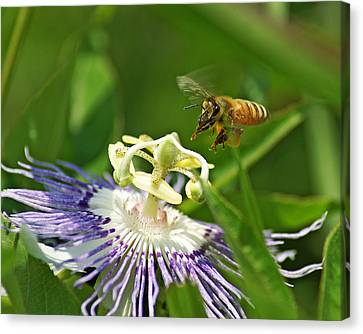 Bee On Passionflower Canvas Print by TnBackroadsPhotos