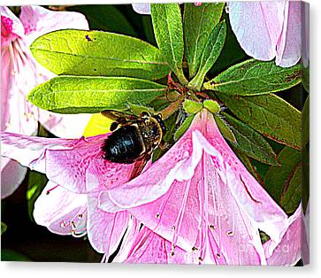 Bee On  Pink Azalea Canvas Print by Kathy  White