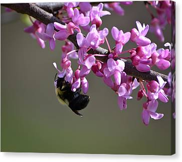 Bee On The Redbud Canvas Print